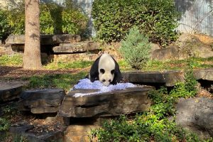 A large panda bear on a rock has its nose and front paws digging into a large pile of white shredded paper